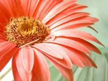 Лепестков маргаритки Gerbera макроса крупный план макроса предпосылки розовых белый воодушевляет Стоковое Изображение RF