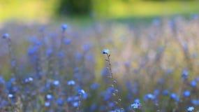 Лепесток весны предпосылки цветка голубой Стоковое Фото