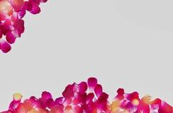 Лепесток красной розы на предпосылке whit для текста иллюстрация штока