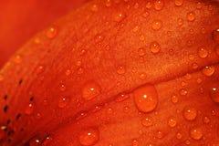лепесток лилии Стоковое фото RF