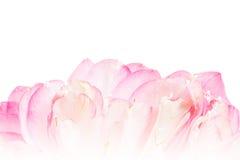 Лепесток открытого цветка лотоса Стоковые Изображения RF