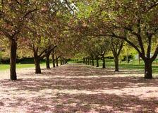 лепесток путя вишни Стоковая Фотография RF