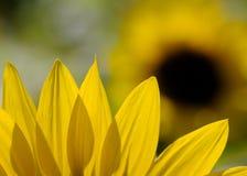 Лепесток солнцецвета Стоковые Изображения