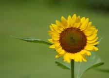 Лепесток солнцецвета Стоковая Фотография RF