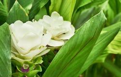 Лепесток тюльпана Сиама Стоковое фото RF
