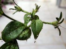 Лепты паука бича завода петуньи Стоковое Изображение