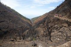 Леса всемирного наследия Мадейры ужасно разрушенные огнями в 2016 Некоторые из деревьев имеют огромную волю жизни и выдержали это стоковые изображения rf