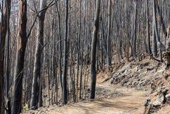 Леса всемирного наследия Мадейры ужасно разрушенные огнями в 2016 Некоторые из деревьев имеют огромную волю жизни и выдержали это стоковое изображение