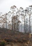 Леса всемирного наследия Мадейры ужасно разрушенные огнями в 2016 Некоторые из деревьев имеют огромную волю жизни и выдержали это стоковая фотография rf