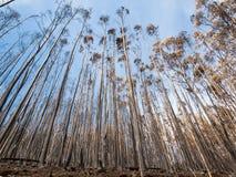 Леса всемирного наследия Мадейры ужасно разрушенные огнями в 2016 Некоторые из деревьев имеют огромную волю жизни и выдержали это стоковая фотография