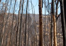Леса всемирного наследия Мадейры ужасно разрушенные огнями в 2016 Некоторые из деревьев имеют огромную волю жизни и выдержали это стоковое фото