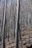 Леса всемирного наследия Мадейры ужасно разрушенные огнями в 2016 Некоторые из деревьев имеют огромную волю жизни и выдержали это стоковые фотографии rf