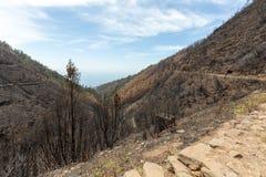 Леса всемирного наследия Мадейры ужасно разрушенные огнями в 2016 Некоторые из деревьев имеют огромную волю жизни и выдержали это стоковые фото