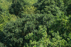 Леса дерева зеленого цвета взгляд сверху Treetops консервация текстуры предпосылки сорта растения вида воздушного различная Стоковое Фото