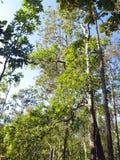 Лесное дерево в национальном парке Азии, Таиланде 3 Стоковое Изображение RF