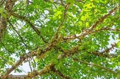 Лесное дерево в сухом вечнозеленом лесе Стоковая Фотография