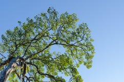 Лесное дерево и голубое небо Стоковые Фото
