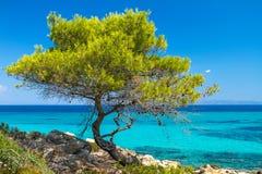 Лесное дерево сосенки морем Стоковые Фотографии RF