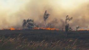 Лесной пожар леса Горящее поле сухой травы и деревьев Густой дым против неба Одичалый огонь должный к горячей ветреной погоде в л видеоматериал