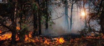 Лесной пожар на заходе солнца, горящий сосновый лес стоковое фото