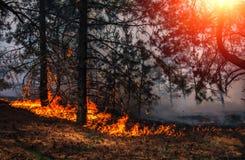 Лесной пожар на заходе солнца, горящий сосновый лес стоковые фотографии rf