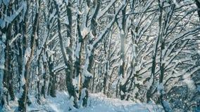 Лесные деревья сезона зимы на снежностях захода солнца акции видеоматериалы
