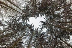 Лесные деревья зимы стоковые фотографии rf