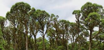 Лесные деревья облака в гористых местностях Santa Cruz стоковое фото