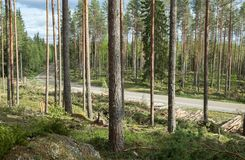 Лесохозяйство в сосновом лесе стоковое фото