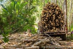 Лесохозяйство резинового дерева стоковая фотография rf