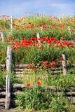 Лестницы, стена маков красного цвета blossoming Стоковая Фотография RF