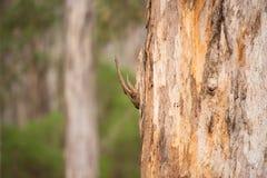 Лес Австралия евкалипта дерева Karri Стоковые Изображения RF