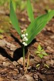 Лес ландыша весной, Россия Стоковое фото RF