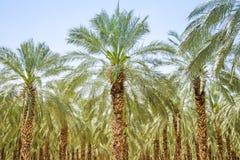 Лес ладони смокв даты или сад плантации стоковые изображения