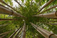 Лес бамбуков на юге  Франции Стоковое фото RF
