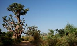 Лес баобаба, Дакар, Сенегал стоковые изображения rf
