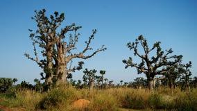 Лес баобаба, Сенегал стоковые фото