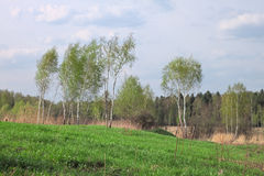 Лес березы весной Стоковые Фото