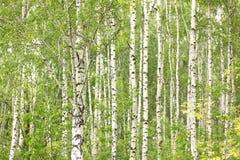Лес березы в солнечном свете в утре Стоковые Фотографии RF