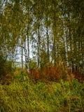 Лес березы в центральной России осенью Стоковая Фотография RF