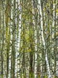 Лес березы в центральной России осенью Стоковое Изображение