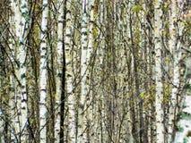 Лес березы в центральной России осенью Стоковые Изображения RF