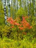 Лес березы в центральной России осенью Стоковые Фотографии RF