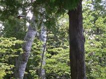 Лес березы и кедра Стоковая Фотография RF