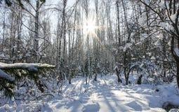 Лес березы, освещенный по солнцу в зиме Стоковое Изображение