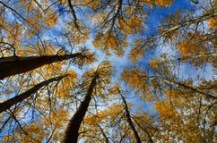 Лес березы осени Стоковые Фото