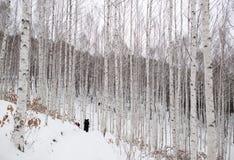 Лес березы покрытый со снегом стоковые изображения