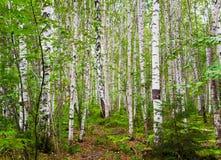Лес березы после дождя Стоковое Изображение RF
