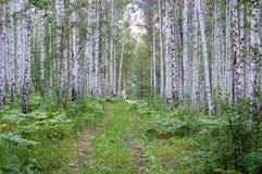 Лес березы, роща березы, старая дорога протягивает в расстояние Стоковое Изображение RF