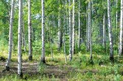 Лес березы, роща березы Стоковые Изображения